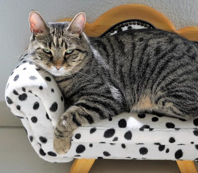 Fieber bei Katzen