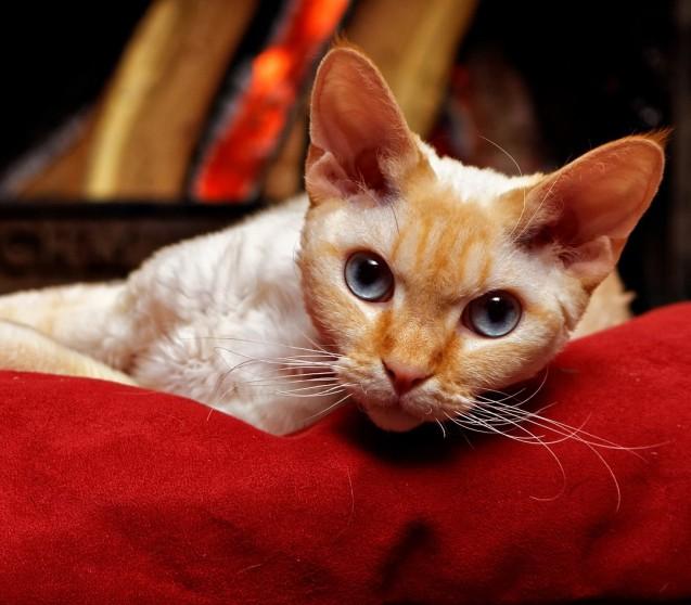 Was hilft gegen Hautpilz bei Katzen?